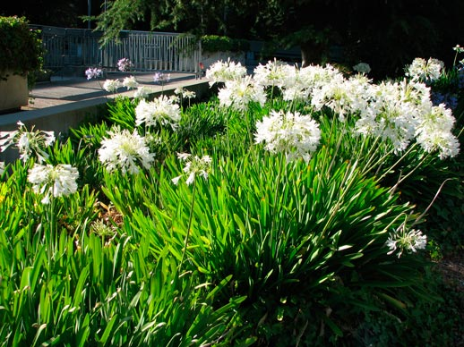 Agapanthus_snow_wstorm_montpellier_latte_sariviere