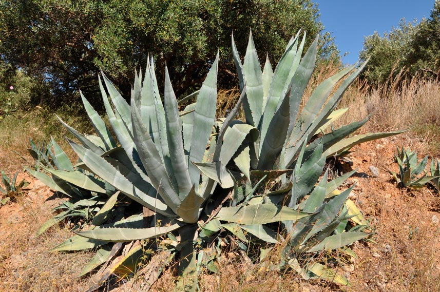 Agave_americana_montpellier_latte_sariviere