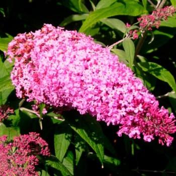 Buddleja_'Pink_Delight'_sariviere_montpellier_lattelight