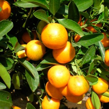 Citrus_japonica_montpellier_latte_sariviere