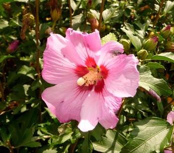 Hibiscus_syriacus_montpellier_latte_sariviere