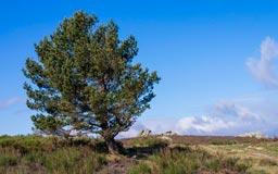 Pinus_halepensis_montpellier_latte_sariviere