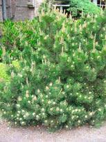 Pinus_mugo_mughus_montpellier_latte_sariviere