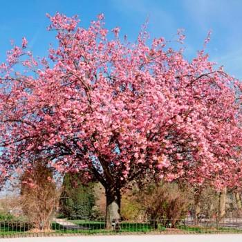 Prunus_serrulata_montpellier_latte_sariviere