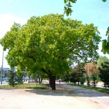Quercus_pubescens_montpellier_latte_sariviere