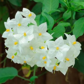 Solanum_jasminoides__montpellier_latte_sariviere