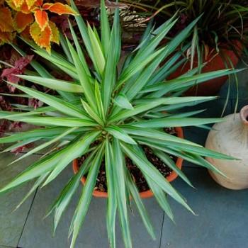 Yucca_aloifolia_montpellier_latte_sariviere
