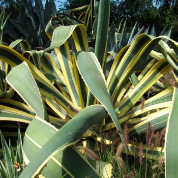 agave_variegated_montpellier_latte_sariviere
